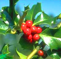 Holly has red berries and pointy leaves.